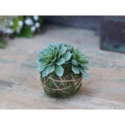 Fleur Sempervivum (S19) with moss ball