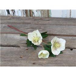Fleur (X19) Christmas Rose